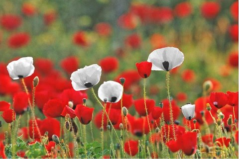 white_poppies